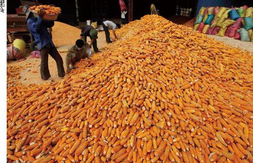 베트남의 옥수수 수확 현장.