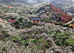섬진강 물길 따라  '봄꽃' 에 취하다